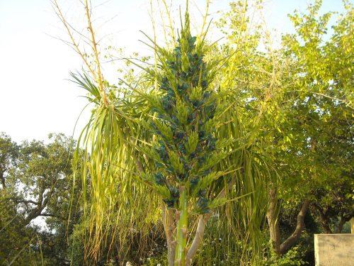 Rarità di Sicilia. A Villa Piccolo fiorisce la pianta di Puya, unico esemplare in tutta l'isola