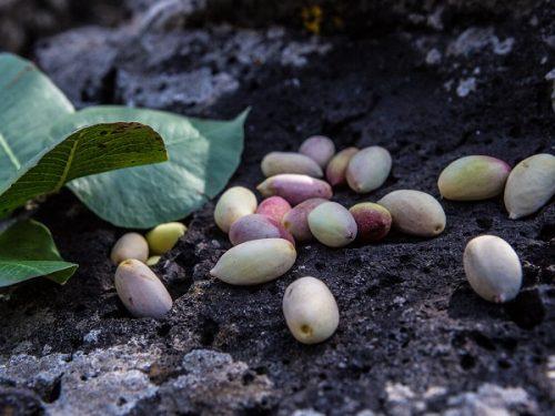 Eccellenza verde: come riconoscere il vero pistacchio di Bronte